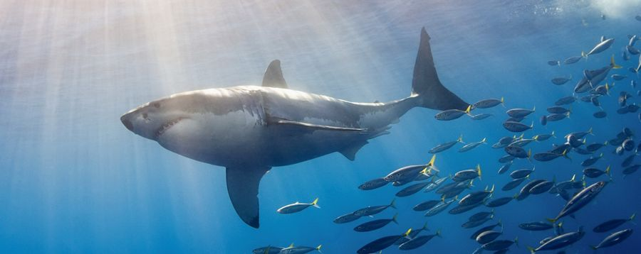 Great White Shark Followed by Schooling Fish